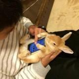 In Japan der Trend: Hasen als Smartphone-Halterungen